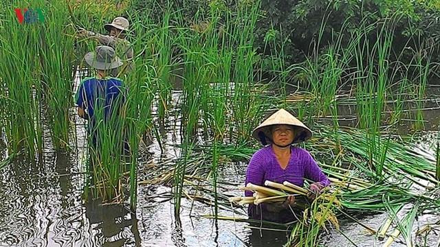 Nông dân Cà Mau kiếm cả trăm triệu mỗi năm nhờ cây bồn bồn - Ảnh 1.