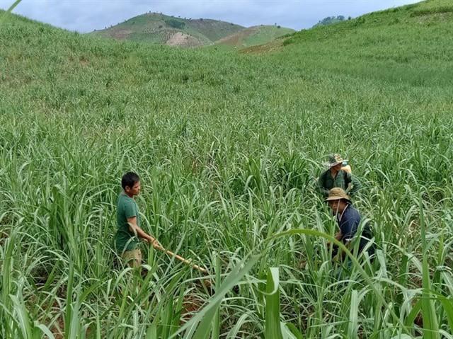Nông dân trồng mía ở Sơn La và nỗi ám ảnh đường lậu - Ảnh 3.