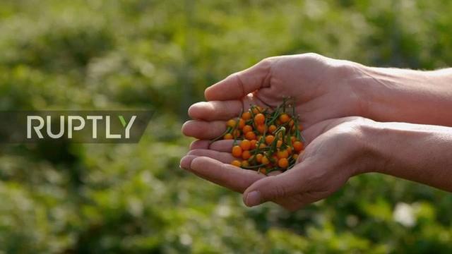 Nhà giàu mạnh tay chi tiền mua quả dại mọc hoang có giá hơn nửa tỷ đồng mỗi kg - Ảnh 7.
