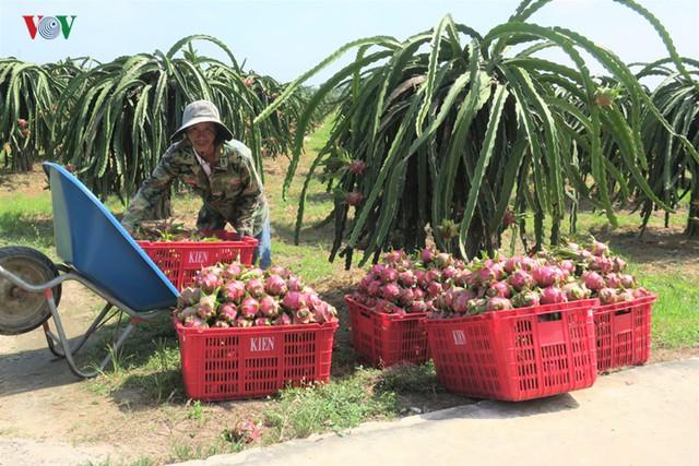 Giá thanh long Bình Thuận nhích lên sau khi cửa khẩu thông quan  - Ảnh 1.