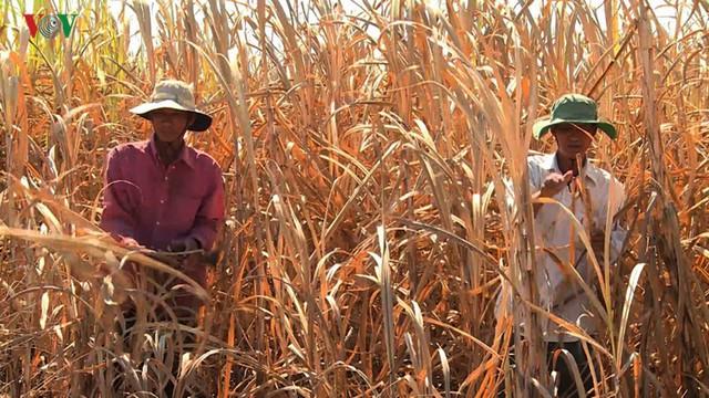 Vùng chuyên canh mía chết khô vì hạn hán khốc liệt ở Phú Yên - Ảnh 1.
