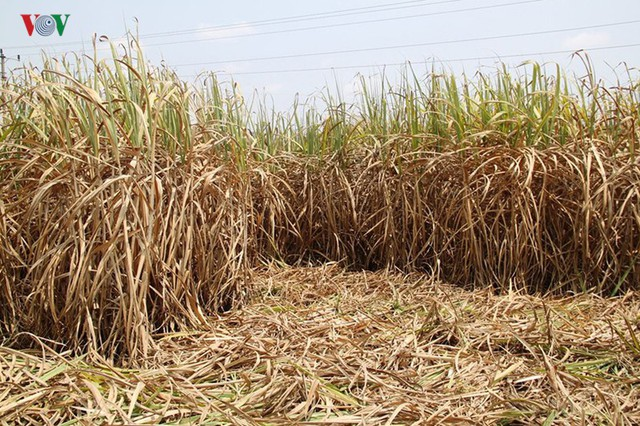 Vùng chuyên canh mía chết khô vì hạn hán khốc liệt ở Phú Yên - Ảnh 2.