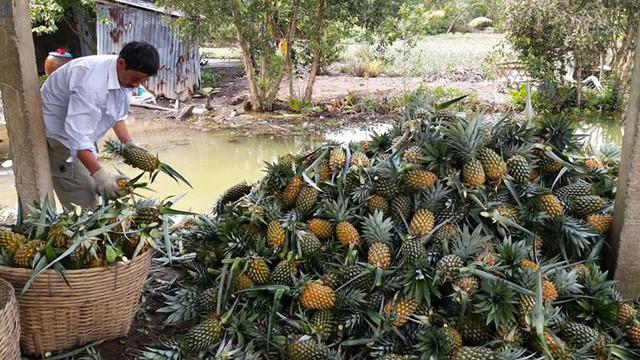 Nông dân vùng Đồng Tháp Mười phấn khởi vì giá dứa tăng vọt - Ảnh 1.