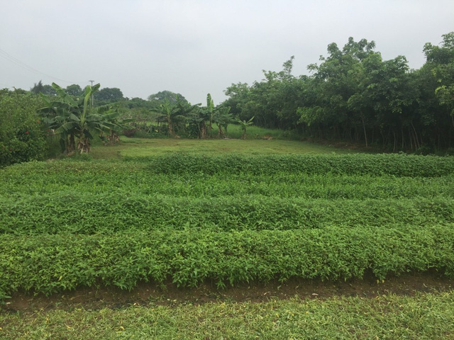 Dự án Việt - Inc hiện vẫn là ruộng rau.