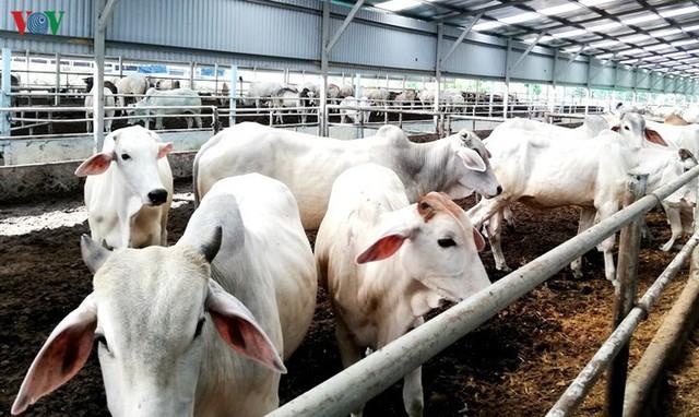 Chuyển đổi mô hình chăn nuôi sau dịch tả lợn Châu phi - Ảnh 1.