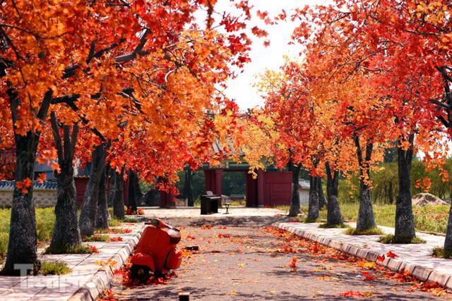 Ngỡ ngàng với con đường phong lá đỏ ở Hà Nội - Ảnh 1.