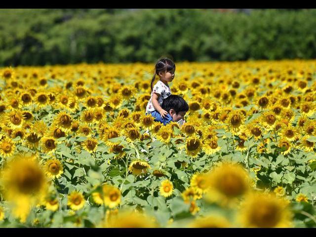"""""""Choáng váng"""" với cánh đồng hoa hướng dương triệu bông đẹp như bức tranh khổng lồ vào mùa thu ở Nhật Bản - Ảnh 2."""