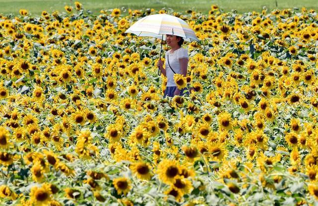 """""""Choáng váng"""" với cánh đồng hoa hướng dương triệu bông đẹp như bức tranh khổng lồ vào mùa thu ở Nhật Bản - Ảnh 12."""