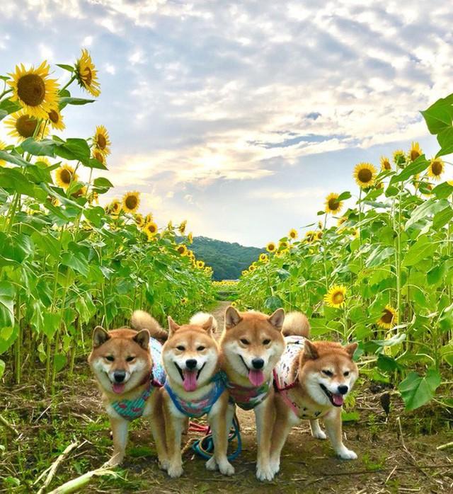 """""""Choáng váng"""" với cánh đồng hoa hướng dương triệu bông đẹp như bức tranh khổng lồ vào mùa thu ở Nhật Bản - Ảnh 14."""