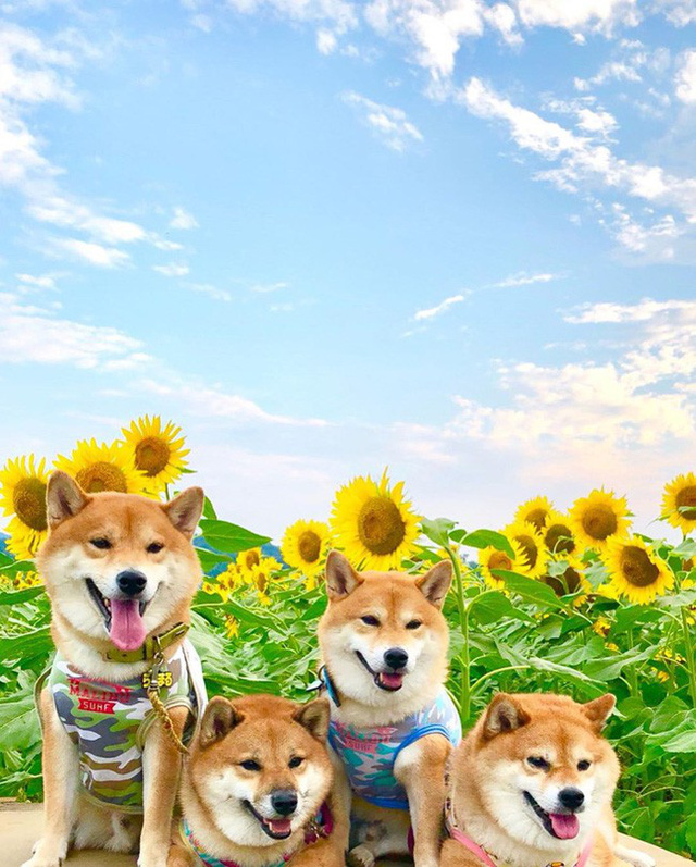 """""""Choáng váng"""" với cánh đồng hoa hướng dương triệu bông đẹp như bức tranh khổng lồ vào mùa thu ở Nhật Bản - Ảnh 15."""