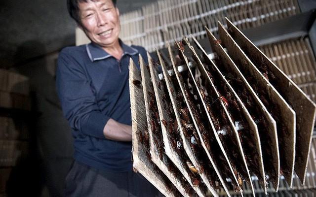 Loài côn trùng nhiều người ghê tởm đang lên ngôi ở Trung Quốc: Hàng loạt trang trại nuôi gián mọc lên như nấm để chế biến thuốc, xử lý thực phẩm thừa và dùng làm nguồn thức ăn cho 1,4 tỷ dân - Ảnh 1.