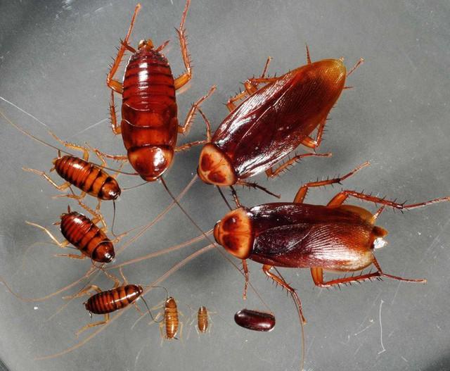 Loài côn trùng nhiều người ghê tởm đang lên ngôi ở Trung Quốc: Hàng loạt trang trại nuôi gián mọc lên như nấm để chế biến thuốc, xử lý thực phẩm thừa và dùng làm nguồn thức ăn cho 1,4 tỷ dân - Ảnh 6.