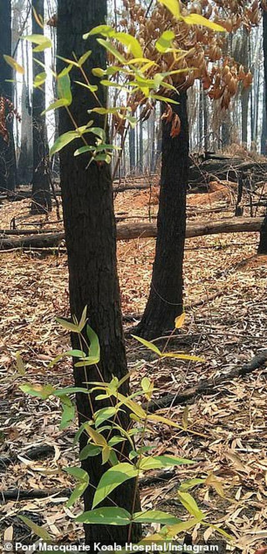 Phượng hoàng lửa tái sinh từ đống tro tàn: Những mầm sống vươn mình tại nơi hứng chịu sự càn quét của thảm họa cháy rừng - Ảnh 3.