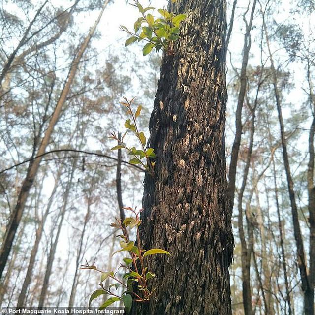Phượng hoàng lửa tái sinh từ đống tro tàn: Những mầm sống vươn mình tại nơi hứng chịu sự càn quét của thảm họa cháy rừng - Ảnh 4.