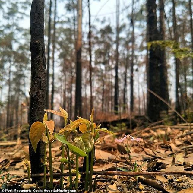 Phượng hoàng lửa tái sinh từ đống tro tàn: Những mầm sống vươn mình tại nơi hứng chịu sự càn quét của thảm họa cháy rừng - Ảnh 6.