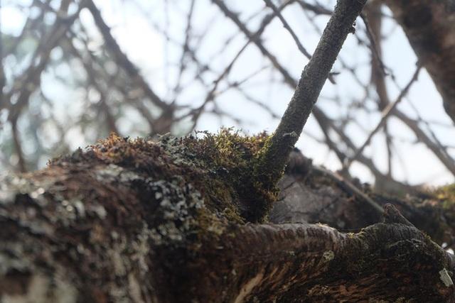 Vượt 300km về Hà Nội, đào rừng không lá không hoa hét giá khó tin gần 200 triệu đồng - Ảnh 4.