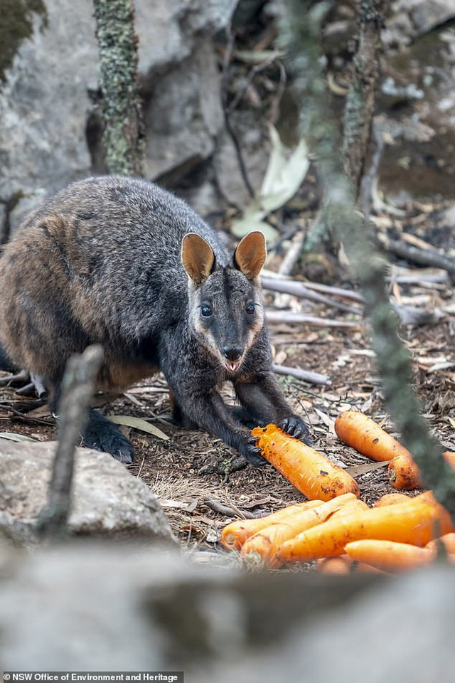 Úc: Mưa cà rốt và khoai lang cứu đói động vật bị cháy rừng  - Ảnh 5.