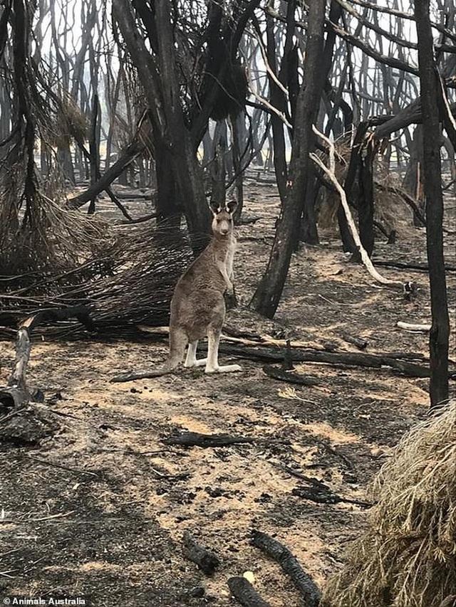Úc: Mưa cà rốt và khoai lang cứu đói động vật bị cháy rừng  - Ảnh 10.