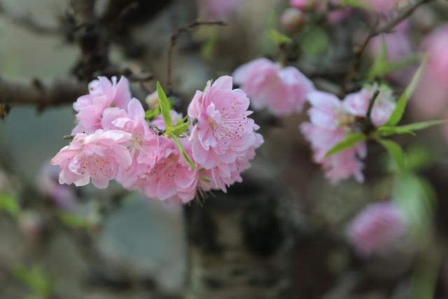 Dân buôn nhấp nhổm sợ mất Tết vì đào cảnh nở gần hết hoa, dài cổ chờ khách - Ảnh 5.