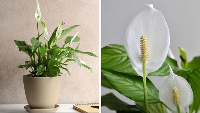Không chỉ mang ý nghĩa phong thủy, trang trí căn phòng, những loại cây dưới đây còn giúp lọc sạch không khí, cải thiện sức khỏe - Ảnh 3.