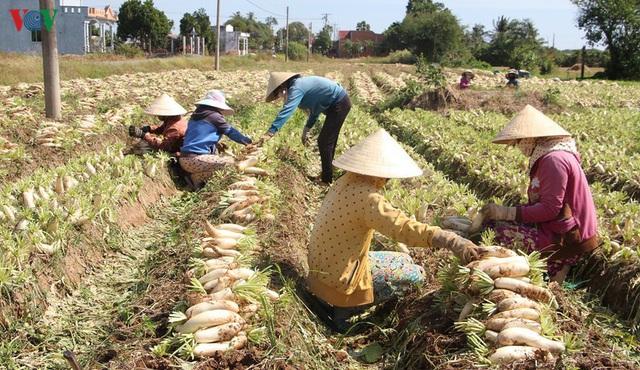Đồng bào Khmer kiếm thu nhập khá từ trồng củ cải trắng làm xá pấu - Ảnh 1.