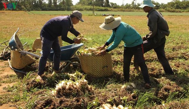 Đồng bào Khmer kiếm thu nhập khá từ trồng củ cải trắng làm xá pấu - Ảnh 2.