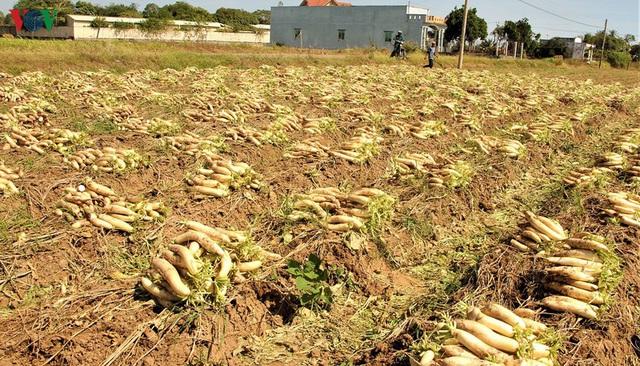 Đồng bào Khmer kiếm thu nhập khá từ trồng củ cải trắng làm xá pấu - Ảnh 3.