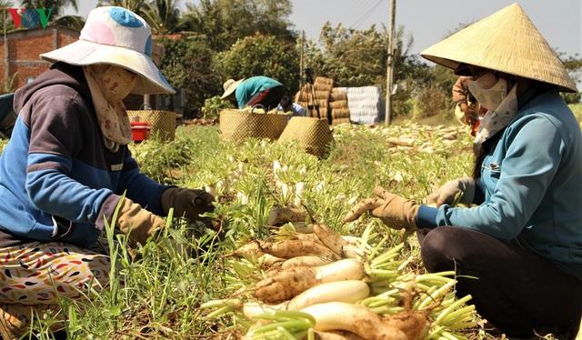 Đồng bào Khmer kiếm thu nhập khá từ trồng củ cải trắng làm xá pấu - Ảnh 5.