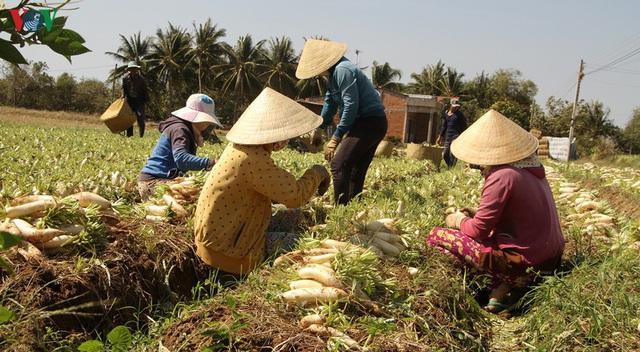 Đồng bào Khmer kiếm thu nhập khá từ trồng củ cải trắng làm xá pấu - Ảnh 6.