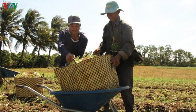 Đồng bào Khmer kiếm thu nhập khá từ trồng củ cải trắng làm xá pấu - Ảnh 7.