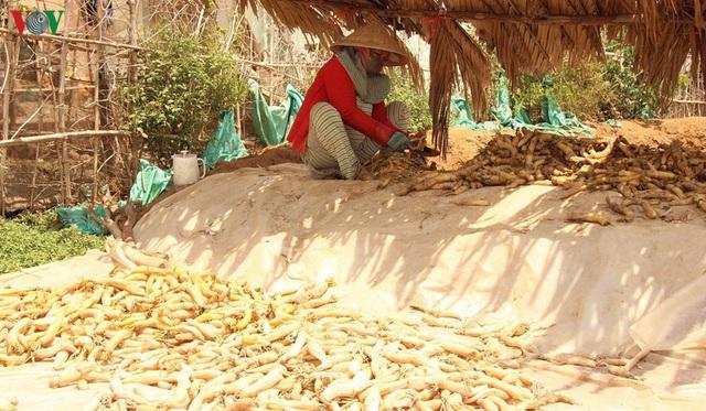 Đồng bào Khmer kiếm thu nhập khá từ trồng củ cải trắng làm xá pấu - Ảnh 8.