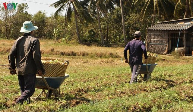 Đồng bào Khmer kiếm thu nhập khá từ trồng củ cải trắng làm xá pấu - Ảnh 10.