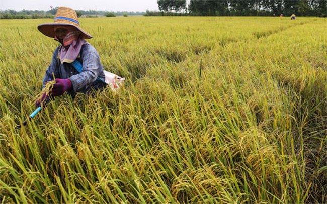 Gạo Thái Lan đối mặt khủng hoảng