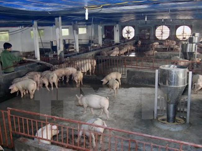 Phát hiện hộ chăn nuôi sử dụng chất cấm vượt chuẩn 500 lần