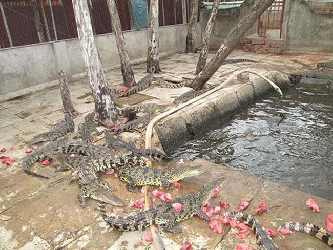 Tiếc vì cá sấu phải bán thô