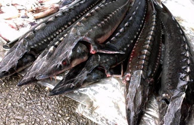 Lâm Đồng: Người nuôi cá tầm lao đao vì cá nhập lậu