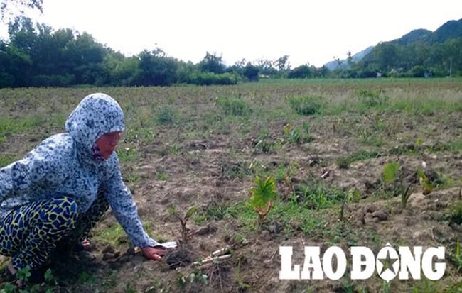 Nông dân khóc ròng trên đồng khoai