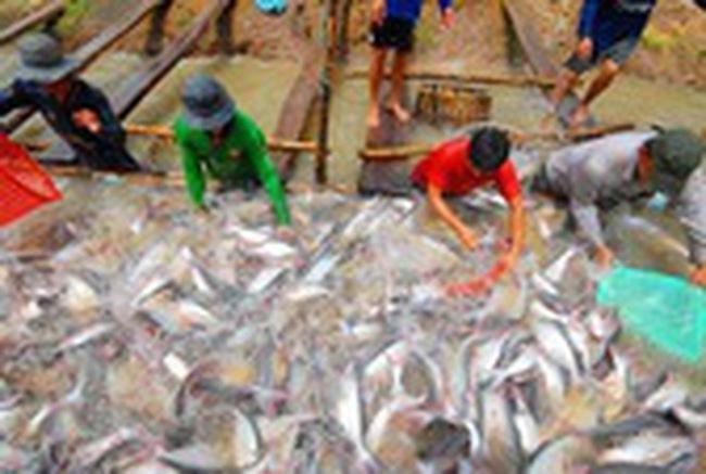 Nghịch lý cá tra xuất khẩu rẻ hơn bán trong nước