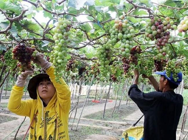 Ninh Thuận: Người trồng nho không có lãi