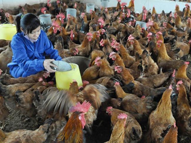 """Ngành chăn nuôi: """"Chấp nhận hi sinh"""" cho TPP?"""