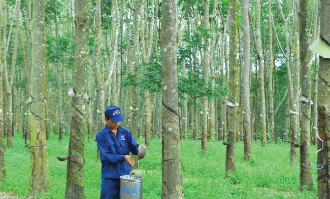 Cao su Quảng Nam (VHG) lãi ròng quý 2 tăng 21%, đạt 30 tỷ đồng