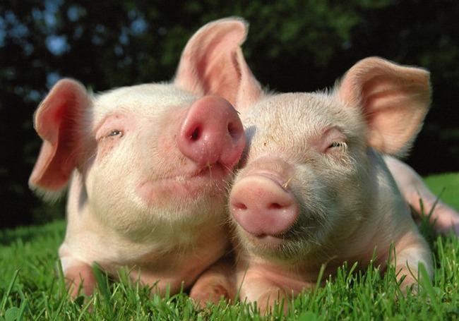Trung Quốc thoát giảm phát nhờ ... lợn