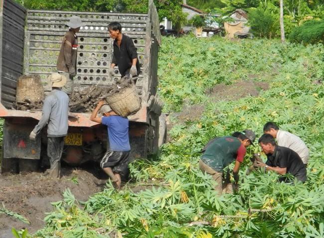 Nông dân nhổ khoai mì chạy mưa, lỗ vốn