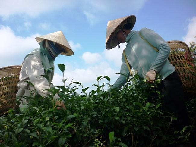 """Lâm Đồng """"cầu cứu"""" Hiệp hội chè Việt Nam"""