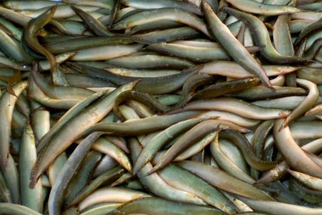 Người dân lúng túng trong việc đầu tư nuôi cá chạch bùn, Bộ NN&PTNT nói gì?