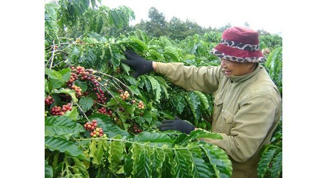 Cà phê Việt Nam mất mùa, xuất khẩu sụt giảm mạnh