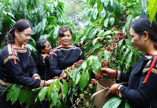 Niềm vui được mùa cà phê