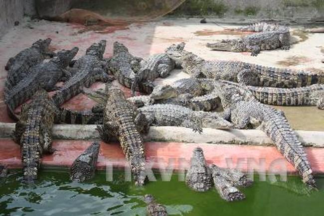 Cảnh giác với việc mua cá sấu 'non'