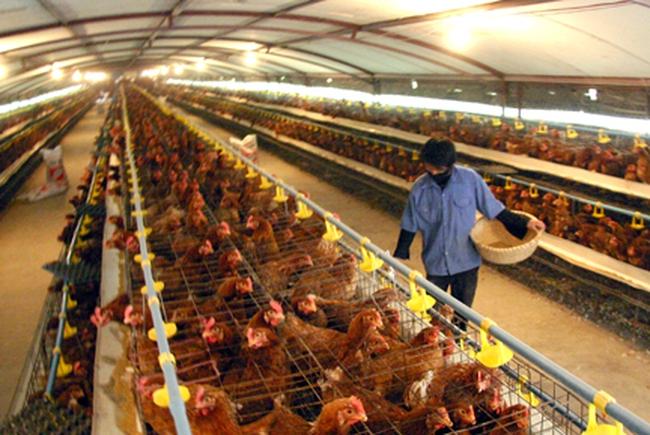 """Thịt bẩn """"quật"""" chết ngành chăn nuôi khi hội nhập sâu?"""