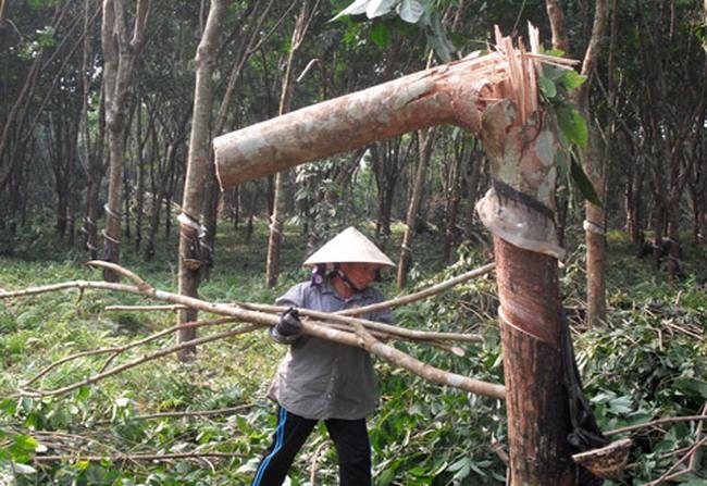 Bình Phước: Giá xuống thấp, hàng ngàn ha cao su bị chặt bỏ